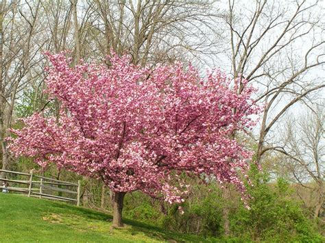 cherry tree yield flowering cherry trees grow an ornamental cherry blossom tree garden design