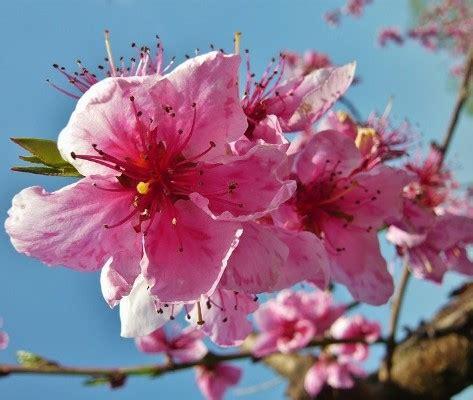 fiori pasquali fiori di pesco a pasqua
