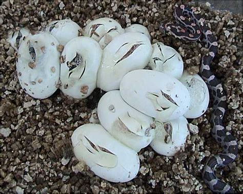what do garden snakes look like