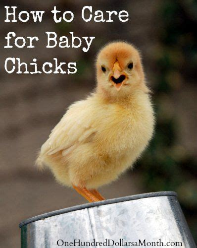 17 best images about birds and chickens on pinterest