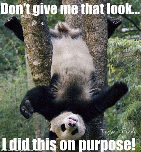 Funny Panda Memes - panda memes tumblr pandas for cameron pinterest