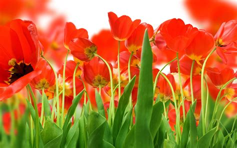 wallpaper flower big size large size tulip wallpaper 8 flower wallpapers free