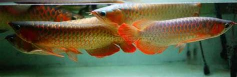 Anakan Arwana Murah jual ikan arwana berkualitas binatang peliharaan