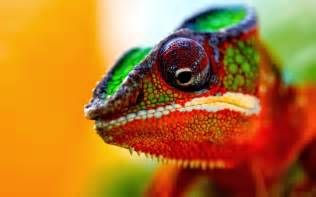 chameleons changing colors chameleon colors indicate moods animals wiki