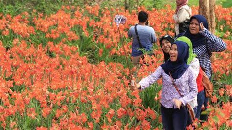 Bibit Bunga Tulip Di Bandung pemilik ikhlas kebun bunga lili indahnya rusak terinjak
