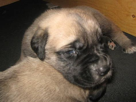 mastiff puppies for adoption mastiff puppies for sale adoption from toronto ontario breeds picture