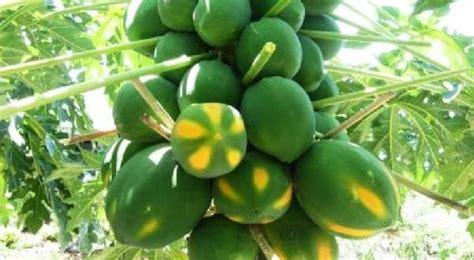 Hak Mango Hitam papaya farming information guide asiafarming