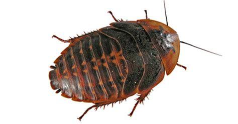 list  tree oils   repel roaches ehow uk
