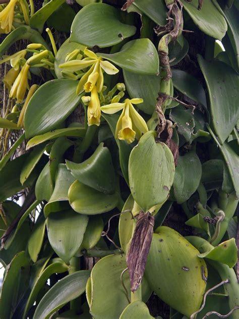 tanaman vanili ciri tanaman kandungan zat khasiat