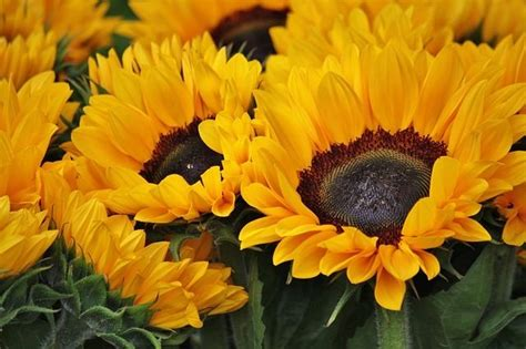 beautiful sunflowers pictures   images