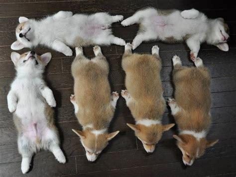 corgi puppy sleeping six corgi puppies sleeping