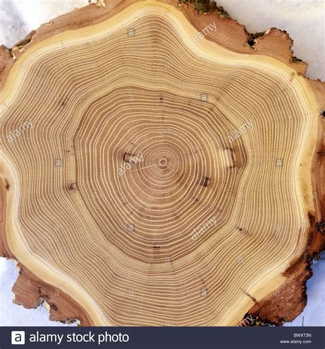 wood cross section wrong acacia wood annual rings cross section robinia