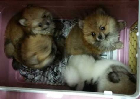 smuggling puppies malaysian faces imprisonment for smuggling 23 puppies and animal cruelty asiaone