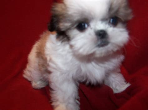 shih tzu mix with maltese shih tzu maltese mix shih tzu pictures