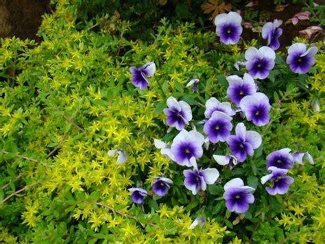 Q Q Vr107 List Purple rudbeckia annual plants images