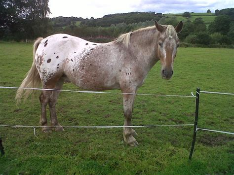 Horses Blankets For Sale by For Sale Stunning Blanket Spot Appaloosa X Gelding