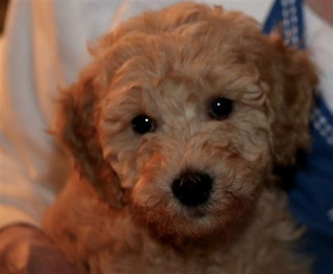 Mini Goldendoodle Teddy General Minis