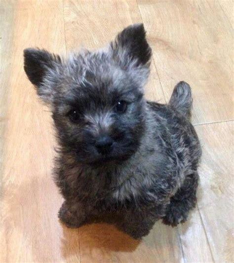 cairn terrier puppies 25 best ideas about terrier puppies on westie puppies westies and west