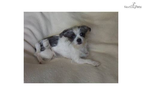 maltese shih tzu chihuahua maltese puppy for adoption near cdd9846f 7002