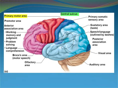 sensory and motor areas of the brain functions of major brain regions ppt
