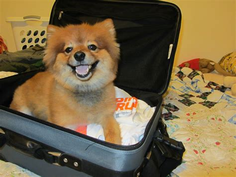 how to your pomeranian how to travel with your pomeranian