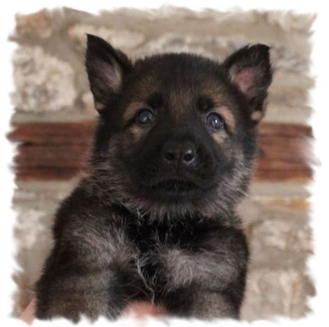working line german shepherd puppies for sale kc reg working line german shepherd puppies carmarthen carmarthenshire pets4homes