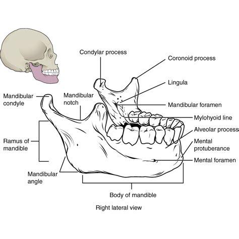 mandible diagram mandible diagram 28 images aids catalao cml stock