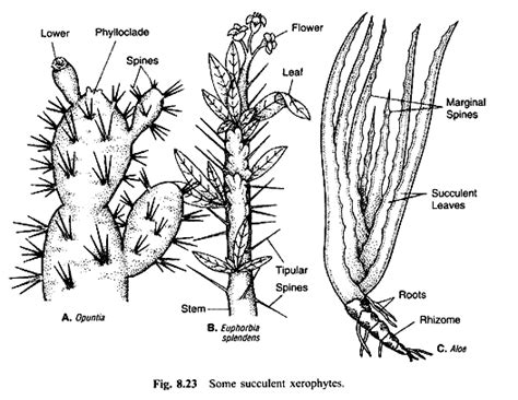 succulents plants adaptations for plant adaptations introduction and ecological