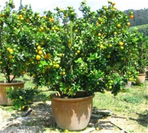 new year lime tree wellgrow