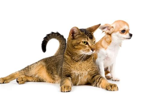 how to a cat and to get along how to get a cat used to a new puppy pets