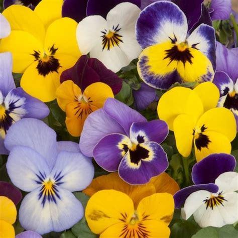 fiori primaverili fiori primaverili a tutto colore e profumo