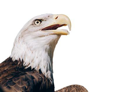 imagenes png aguila ilustraci 243 n gratis adler 193 guila calva aves imagen