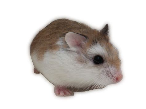Large Hamster Cages For Syrian Hamster