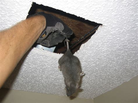 Mice In Walls And Ceiling by Rat Photograph 016 I Cut A In The Ceiling For This One