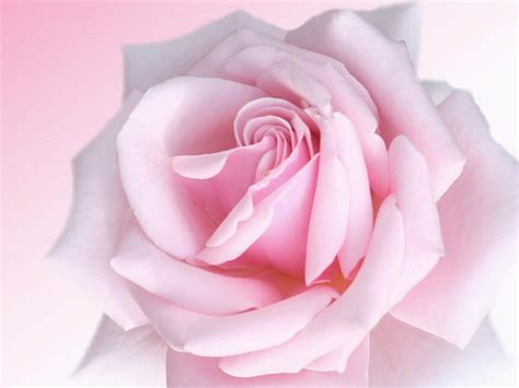 pink roses wallpapers pink wallpapers