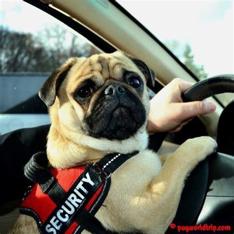 pug driving car i car driving www thepugfather www pugworldtrip pug