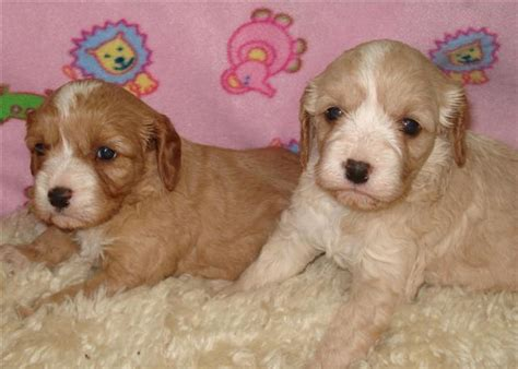 labradoodles puppies for sale perth for sale cavoodle spoodle and labradoodle puppies