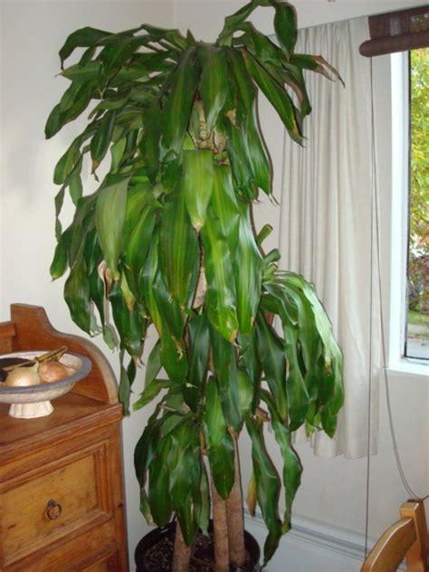 zimmerpflanzen gross palmenarten zimmerpflanzen wirken sehr sch 246 n archzine net