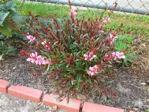 gaura perennial care growth needs of the gaura plant