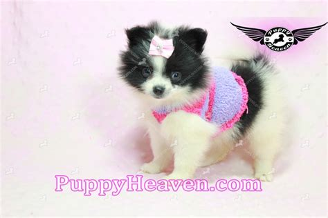 pomeranian puppies in los angeles adele teacup pomeranian puppy in california
