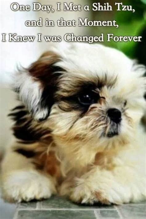 shih tzu rescue oklahoma best 25 shih tzu rescue ideas on me and my shih tzu and shitzu puppies