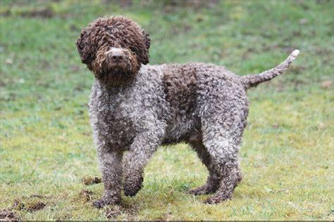 lagotto romagnolo puppies lagotto romagnolo pictures rescue puppies breeders temperament animals breeds