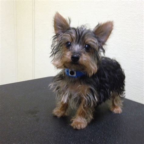 grown yorkie maltese mix 3 month yorkie breeds picture