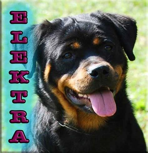 rottweiler puppies for sale ta rottweiler breeders rottweiler puppies for sale german rottweilers for sale