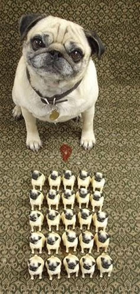 pug army it s an army obey the pug army minis and pug