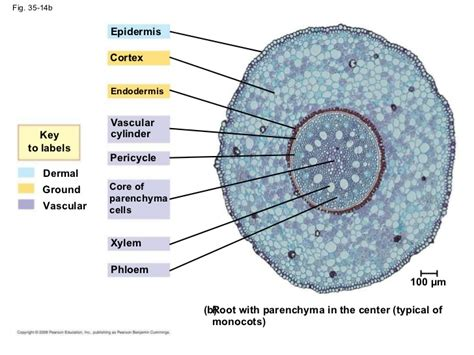 cylinder cross section pin stele vascular cylinder in dicot root cross section