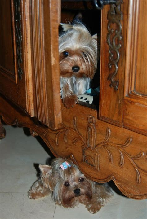 should i get a yorkie 12 reasons why you should never own terriers