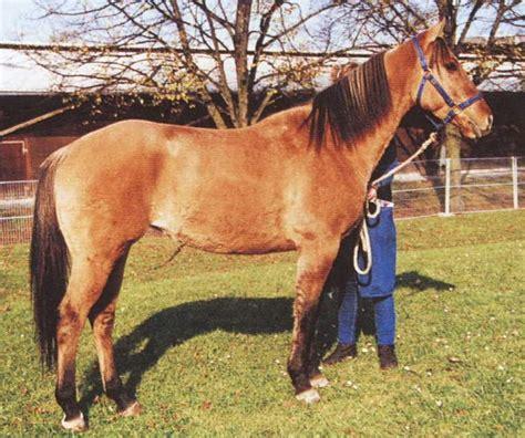 suche zu kaufen pferde kaufen araber images