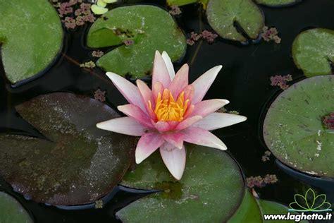 ninfea fiore di loto ninfea sioux piante acquatiche ninfee fiore di loto