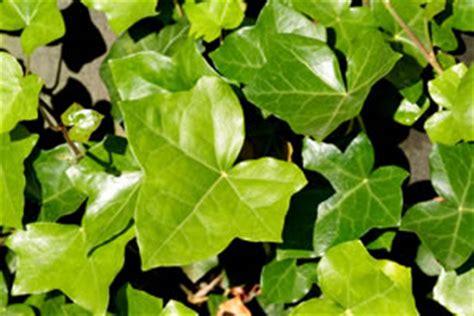 efeu schnell wachsende sorte beliebte rankpflanzen pflege sorten